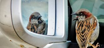 Bird seeing itself in car mirror (Flickr Christian Ştefănescu)